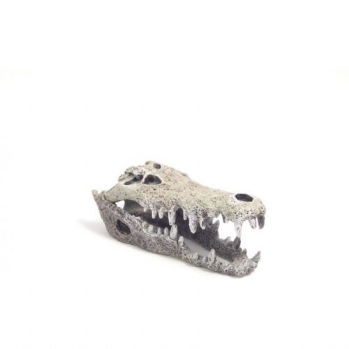 Blue Ribbon Nile Crocodile Skull